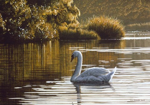 Framed Morning On The Lagoon - Mute Swan Print