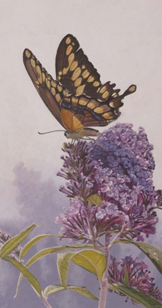 Framed Giant Swallowtail Print