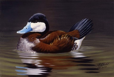Framed Ruddy Duck Print