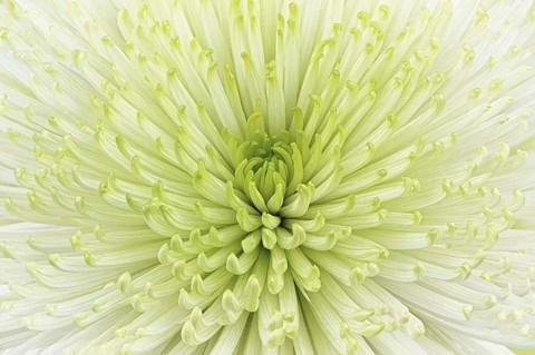 Framed Lime Light Spider Mum Print
