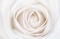 White Rose  Fine Art Print