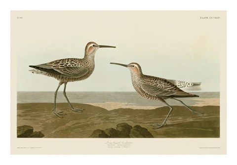 Framed Long-Legged Sandpiper Print