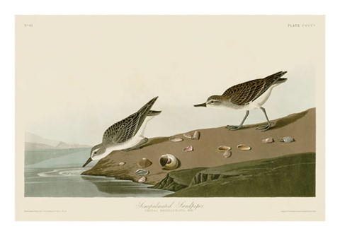 Framed Semipalmated Sandpiper Print