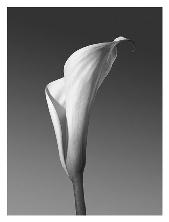 Framed Calla No. 4 Print