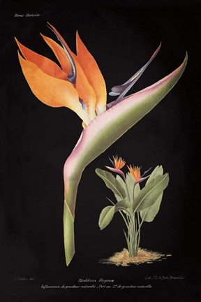 Framed Strelitzia Reginoe on Black Print