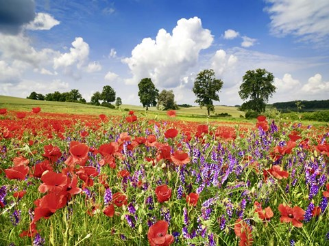 Framed Poppies And Vicias In Meadow, Mecklenburg Lake District, Germany Print