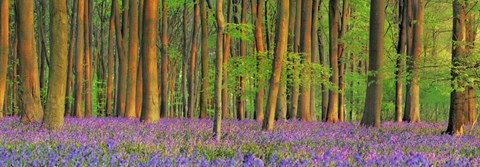 Framed Beech Forest With Bluebells, Hampshire, England Print