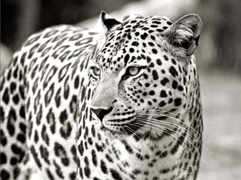 Framed Portrait of Leopard, South Africa Print