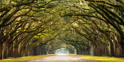 Path Lined With Oak Trees Fine Art Print By Unknown At
