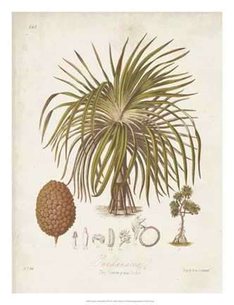 Framed Antique Tropical Palm II Print