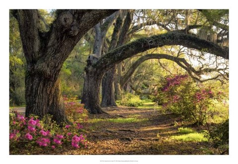 Framed Under the Live Oaks I Print
