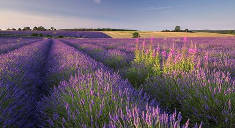 Framed Fields of Lavander Print