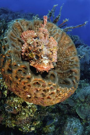 Framed Scorpionfish hiding in a barrel sponge Print