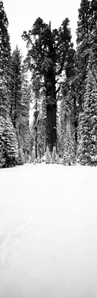 Framed General Sherman trees in a snow covered landscape, Sequoia National Park, California Print
