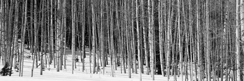 Framed Aspen trees in a forest, Chama, New Mexico Print