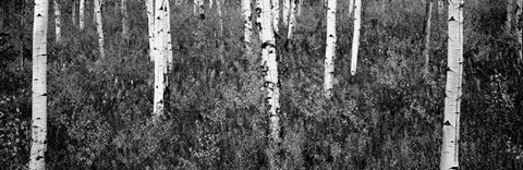 Framed Aspen trees in a forest, Shadow Mountain, Grand Teton National Park, Wyoming Print