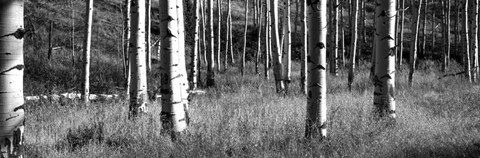 Framed Aspen trees growing in a forest, Grand Teton National Park, Wyoming Print