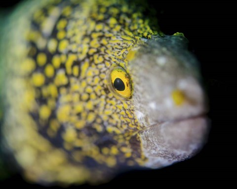 Framed Snowflake Moray Eel in Costa Rica Print