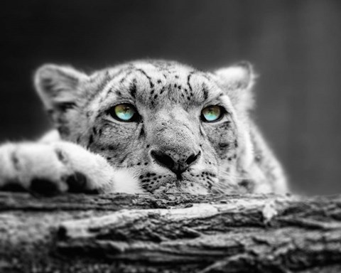 Pop Of Color Snow Leopard Eyes Fine Art Print By Color Me