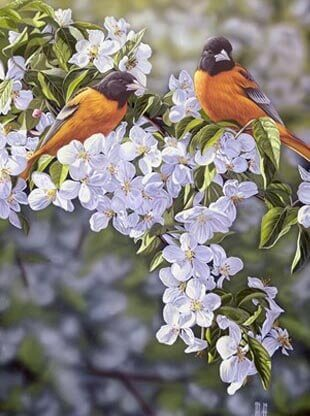 Orioles in the Orchard