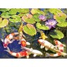 Koi pond iii fine art print by rosiland solomon at for Koi pool thornton