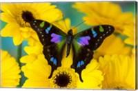Purple Spotted Swallowtail Butterfly Fine Art Print