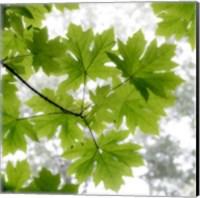 Big Leaf Maples In Summer Fine Art Print
