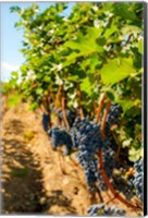 Vineyard Grapes Near Harvest Fine Art Print