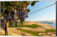 Merlot Grapes Hanging In A Vineyard Fine Art Print