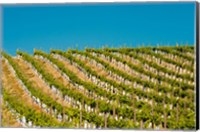 Rows Of Young Vines Fine Art Print
