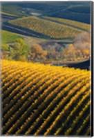 Vineyards, Walla Walla, Washington State Fine Art Print