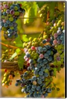 Cabernet Franc Block In Harvest Fine Art Print