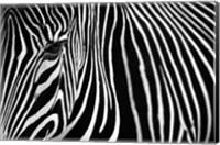 Zebra in Lisbon Zoo Fine Art Print