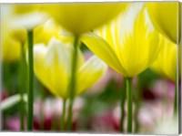 Tulip Close-Ups 4, Lisse, Netherlands Fine Art Print