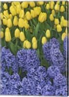 Hyacinth And Yellow Tulips In Garden, Las Vegas Fine Art Print
