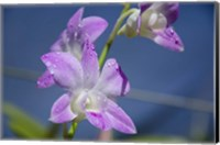 Orchids With Water Droplets, Darwin, Australia Fine Art Print