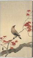Japanese Waxwing on Maple, 1900-1936 Fine Art Print
