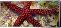 Sea Star Fine Art Print