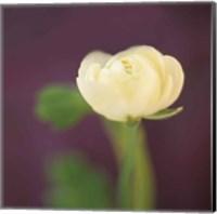 Ivory on Aubergine Fine Art Print
