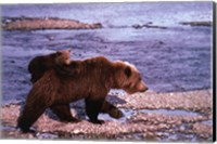 Brown Bear Carrying Cub, Alaska Fine Art Print