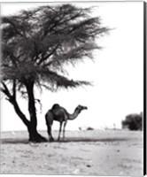 Camel and Tree, Desert of Mauritania Fine Art Print
