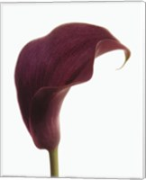 Purple Calla Lily Fine Art Print