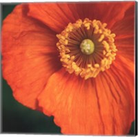 Orange Poppy Fine Art Print