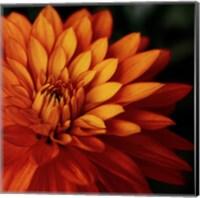 Orange Dahlia Fine Art Print