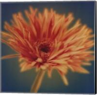 Chrysanthemum on Turquoise Fine Art Print