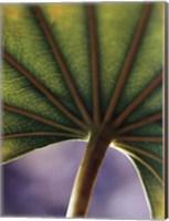 Ricepaper Plant-7 Fine Art Print
