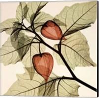 Japanese Lanterns (med.) Fine Art Print