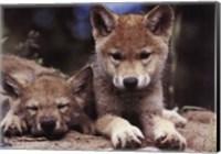 Spring Wolf Pups Fine Art Print