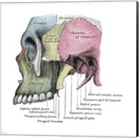 Skull Diagram Fine Art Print
