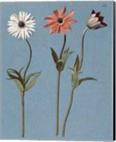 Three Daisies Fine Art Print